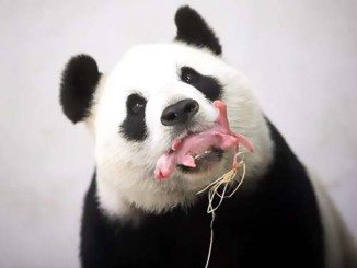 Does your diet help or hurt pandas | Meat Your Future