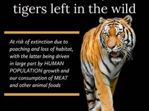 Less Than 4,000 Tigers | Meat Your Future