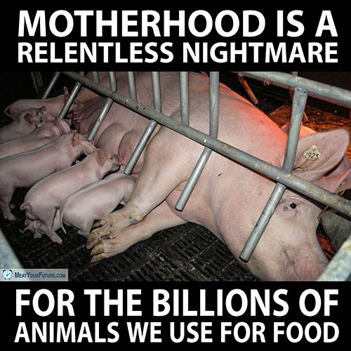 Motherhood is a Relentless Nightmare for the Animals We Use for Food | Meat Your Future