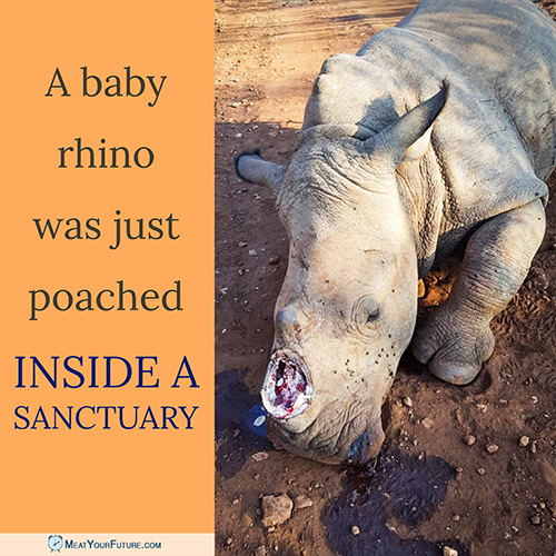 Baby Rhino Poached Inside a Sanctuary | Meat Your Future