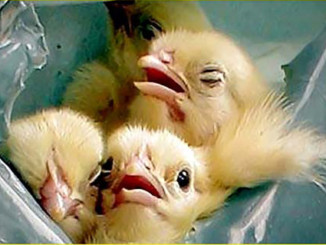 Eggs Suffocate and Kill Make Chicks | Meat Your Future