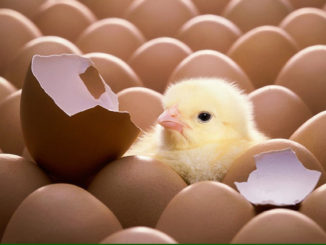 Baby Male Chicks in the Egg Industry