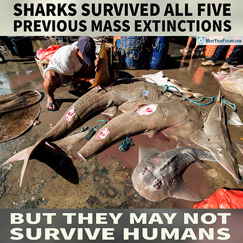 Sharks Surivved Five Mass Exintctions But May Not Survive Humans | Meat Your Future