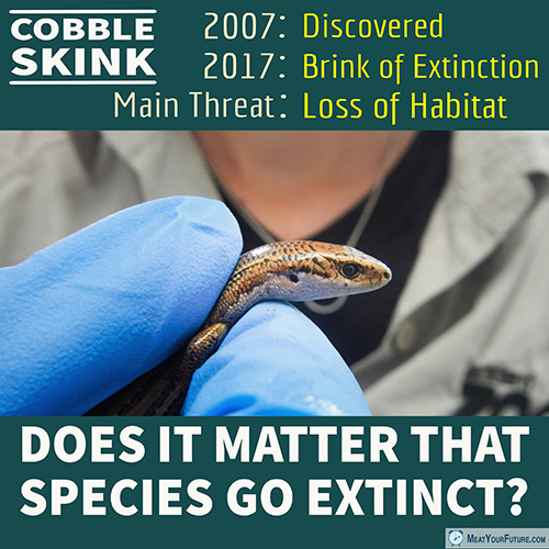 Cobble Skinks - Nearly Extinct 10 Years After Being Discovered | Meat Your Future