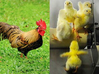 "Happy Year of the Rooster; Sadly Most ""Roosters-To-Be"" Don't Make It 