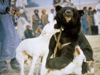Bear-Baiting is Barbaric | Meat Your Future
