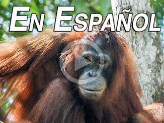 Pony El Orangután Esclavo   Meat Your Future