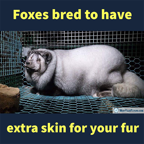 Foxes Bred to Have Extra Skin for Your Fur | Meat Your Future