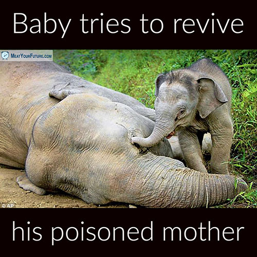 Baby Elephant Tries to Revive His Poisoned Mother | Meat Your Future