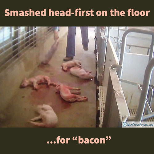 "Smashed Head-First on the Floor for ""Bacon"" 