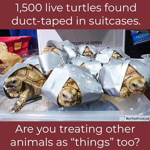 1,500 Live Turtles Duct-Taped in Suitcases | Meat Your Future
